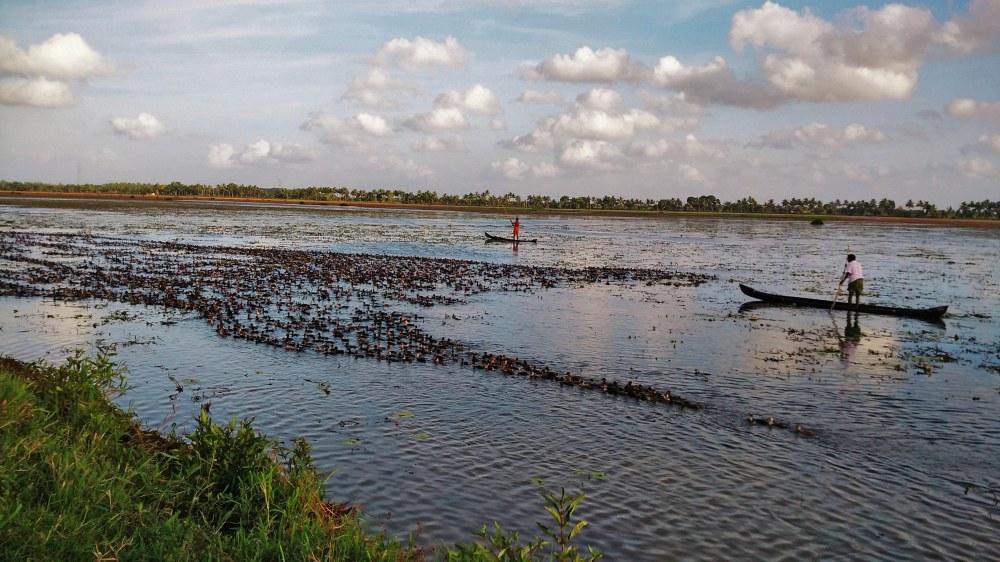 Duck rearing Eara Village Kerala