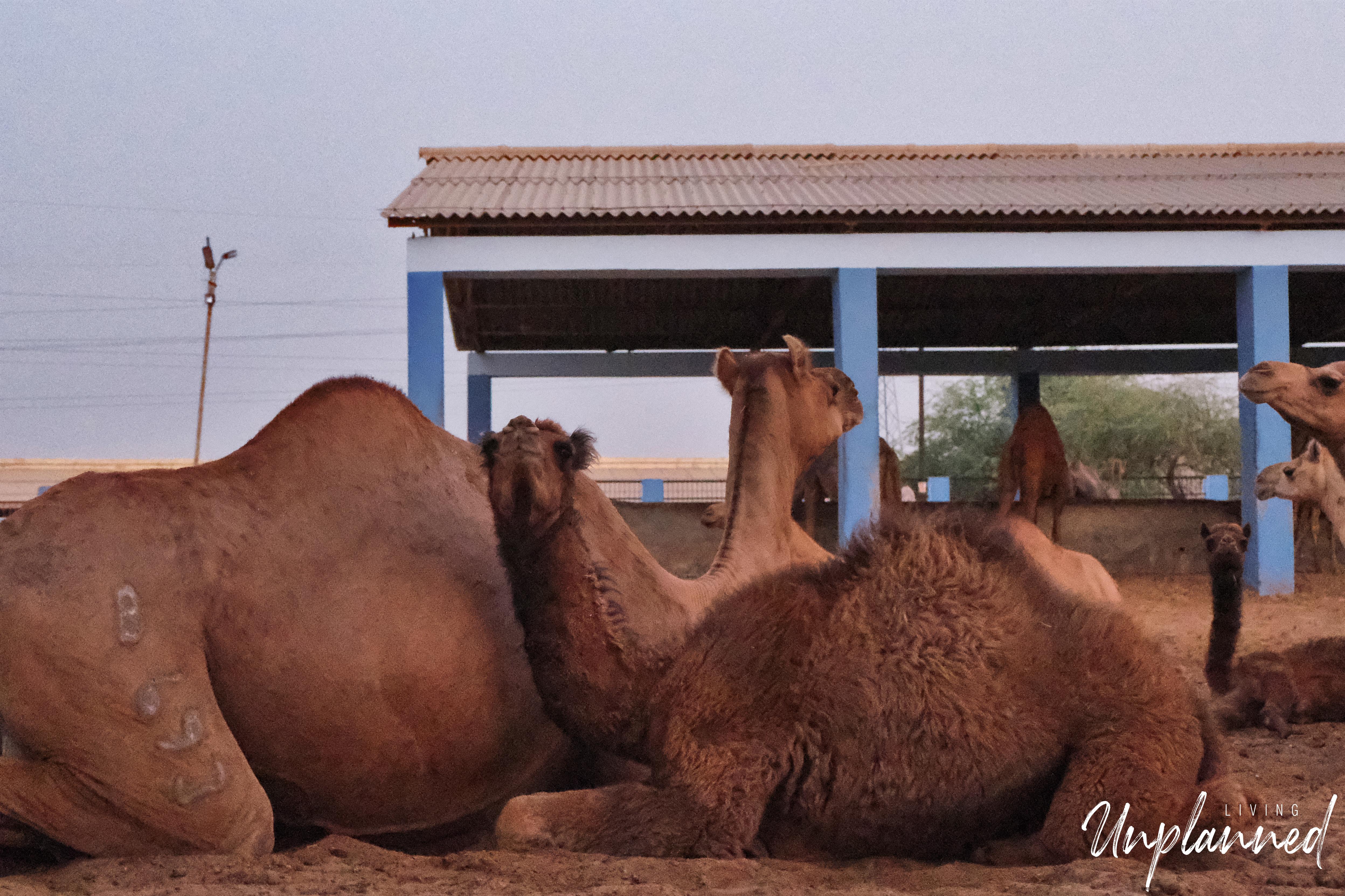 Camel6.jpg